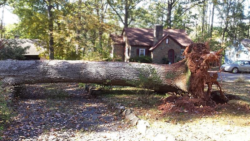 fallen-white-oak-tree