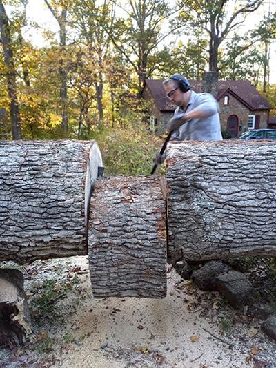 felling-oak-tree